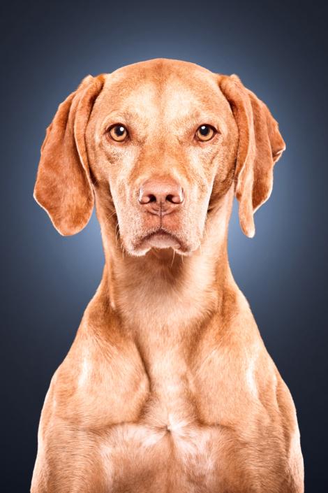Hundeportrait Viszla