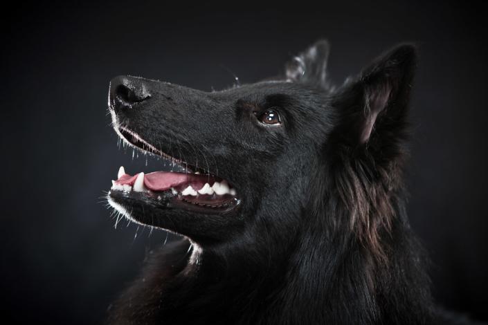 Groenendael, Belgischer Schäferhund
