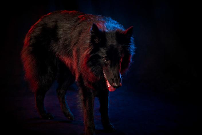 Hundeportrait Wolf im Schafspelz