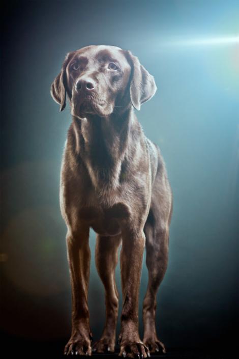 Labrador Hund